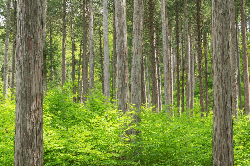 3月の誕生木、檜の木言葉は「不滅」「不老」「不死」「強い忍耐力」です。