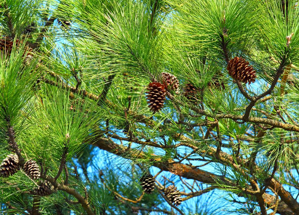 1月の誕生木、松の木言葉は「荘厳」です。