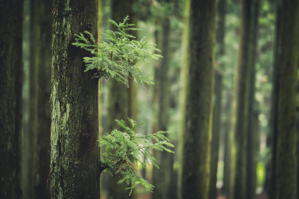 5月の誕生木、杉の木言葉は「雄大」「堅固」「堅実」「君のために生きる」です。