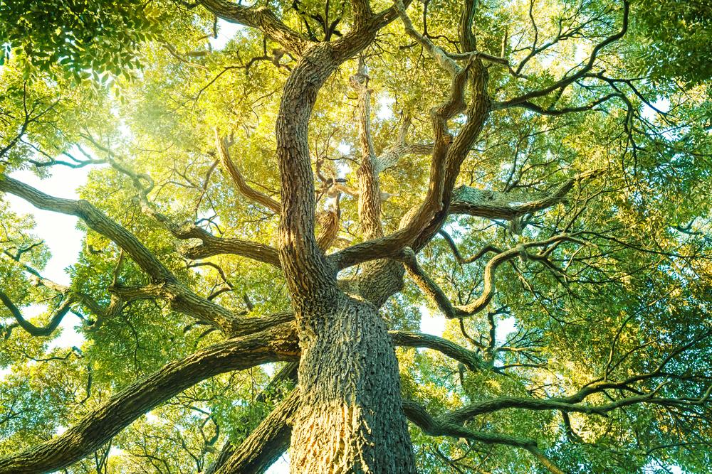 6月の誕生木、樟の木言葉は「忍耐」です。