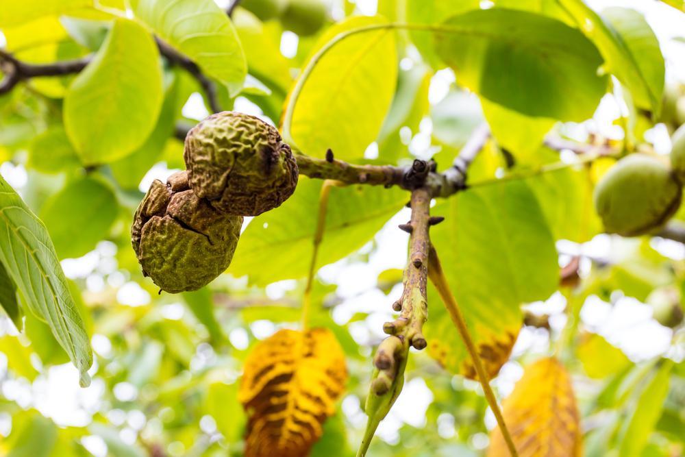 2月の誕生木、胡桃の木言葉は「知性」「知恵」「野心」です。
